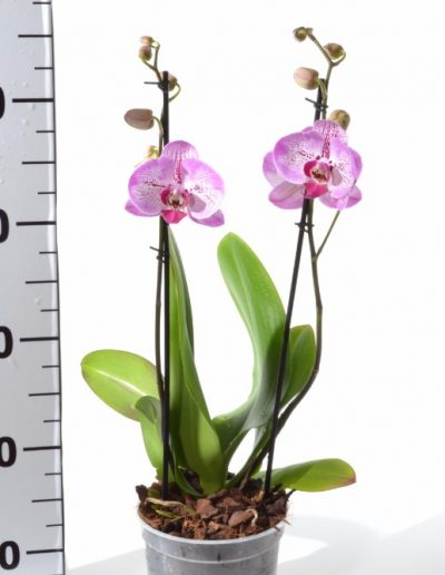 ORCHID POT 14 SHORT 2 SPIKE