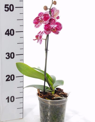 ORCHID POT 14 SHORT SPIKE
