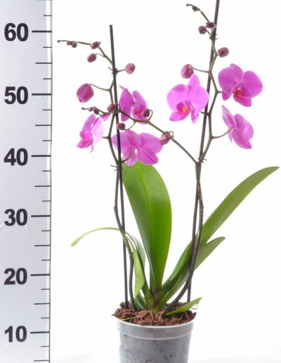 ORCHID POT 14 TALL 2 SPIKE