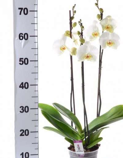 ORCHID POT 14 TALL 3 SPIKE